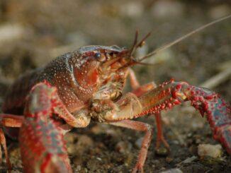 peluang bisnis lobster air tawar