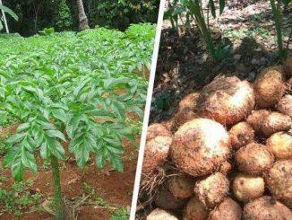 peluang usaha budidaya tanaman porang
